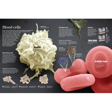 Infographic of Red and White Blood Cells and their Function Poster Wall Art](Bloody Wall)