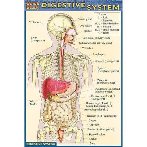 Digestive System Quick Reference Guide