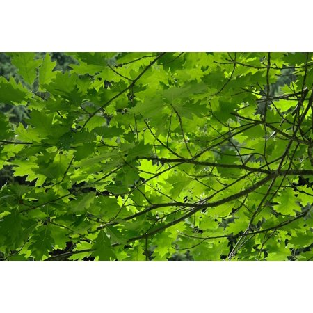LAMINATED POSTER Branches Green Aesthetic Red Oak Leaves Tree Poster Print 24 x 36 - Red Oak Laminate