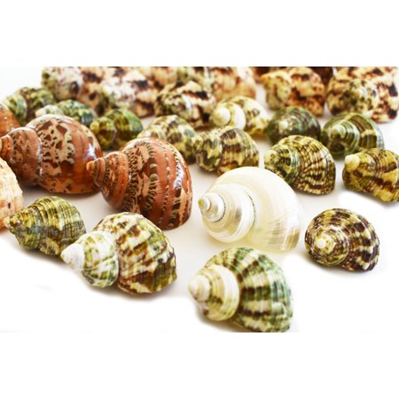 30 Select Hermit Crab Shells Lot 3/4-2