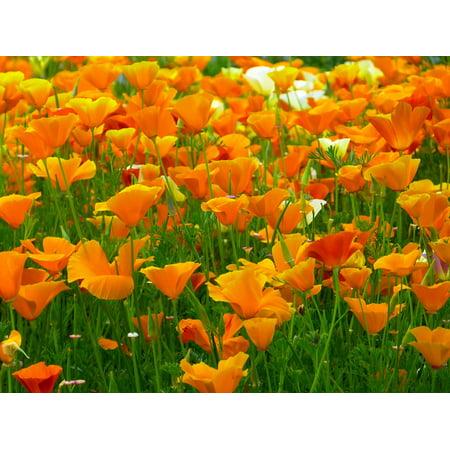 Laminated poster orange bright iceland poppy flowers mohngewaechs laminated poster orange bright iceland poppy flowers mohngewaechs poster 24x16 adhesive decal mightylinksfo