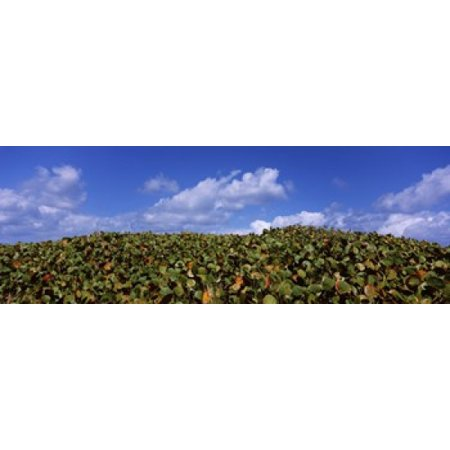 Sea grapes (Coccoloba uvifera) in a field East End Anguilla Canvas Art - Panoramic Images (36 x 13)