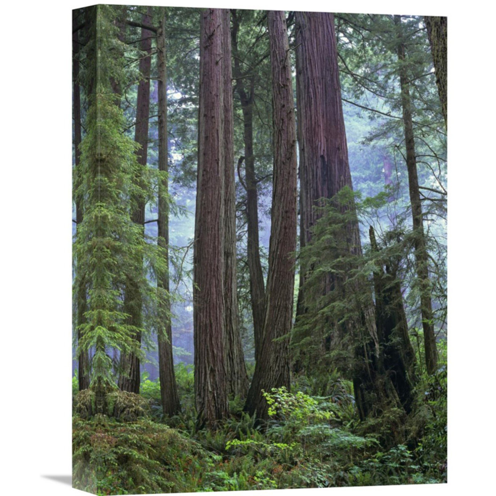 Global Gallery Old Growth Forest Of Coast Redwood Stand