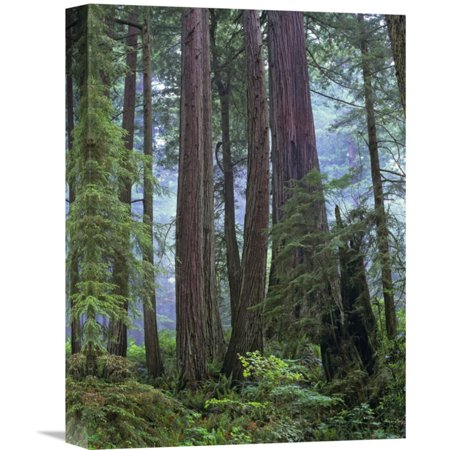 Global Gallery Old Growth Forest of Coast Redwood Stand Del Norte Coast Redwoods State Park California Wall Art