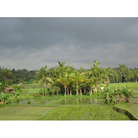 Canvas Print Rice Field Agriculture Crop Rice Field PaddyStretched Canvas 10 x 14