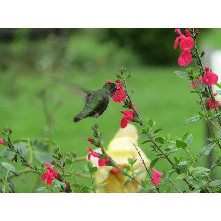 LAMINATED POSTER Animal Nature Flowers Hummingbird Hover Bird Poster Print 24 x 36