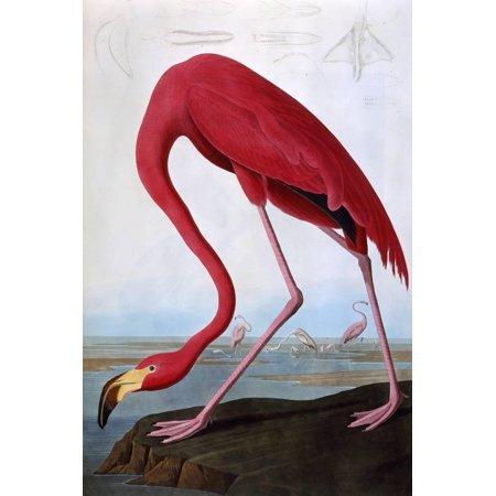 American Flamingo Tropical Vintage Bird Illustration Print Wall Art By John James Audubon