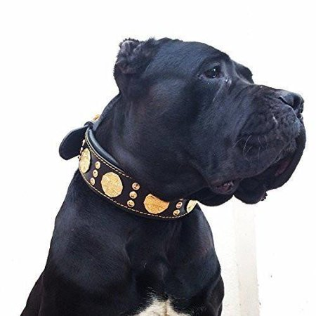 Bestia Maximus Genuine Leather Dog Collar Large Breeds Cane Corso Rottweiler Boxer Bullmastiff Dogo Quality Dog Collar 100  Leather Studded L  Xxl Size 2 5 Inch Wide  Padded  Made In Europe Xxl  Fits