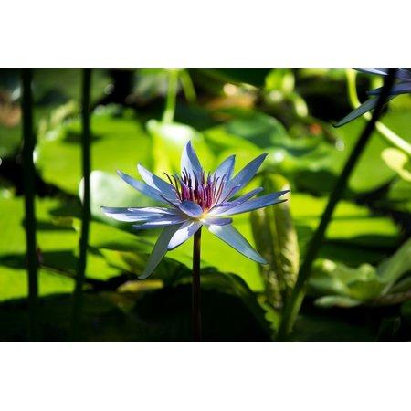 LAMINATED POSTER Tranquil Lotus Lotus Flower Flower Zen Massage Spa Poster Print 24 x - Tranquil Lotus Blossom