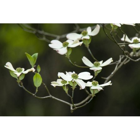Close-Up of Dogwood Bloom Print Wall Art By Gary - Dogwood Bloom