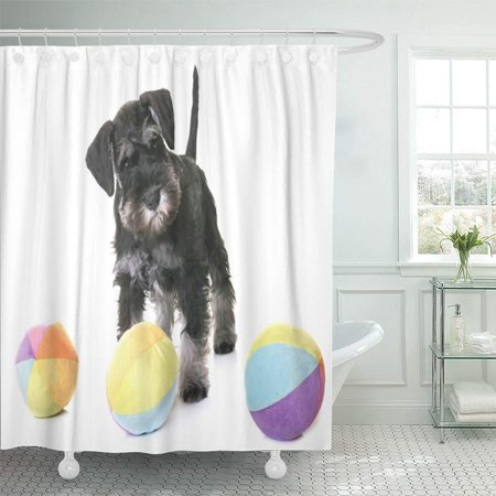 KSADK Animal Puppy Miniature Schnauzer in Front of White Ball Black Dog Little Pet Playing Shower Curtain 66x72 inch (Black White Miniature Schnauzer)