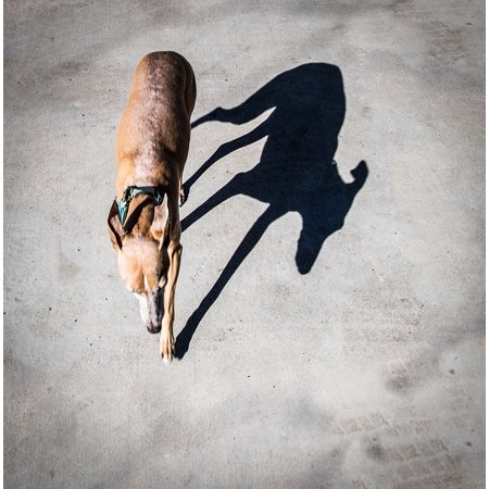 Laminated Poster Sighthound Italian Greyhound Shadow Greyhound Dog Poster Print 11 x 17
