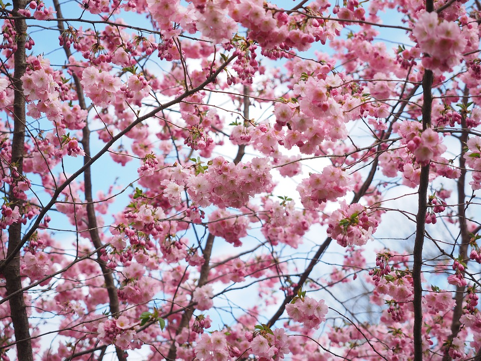 Canvas Print Flower Tree Tree Pink Flowers Japanese Cherry Trees