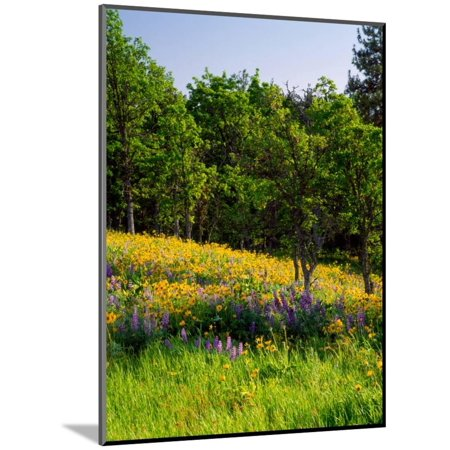 Balsamroot and Lupine flowers blooming in a forest, Tom McCall Nature Preserve, Columbia River G... Wood Mounted Print Wall Art