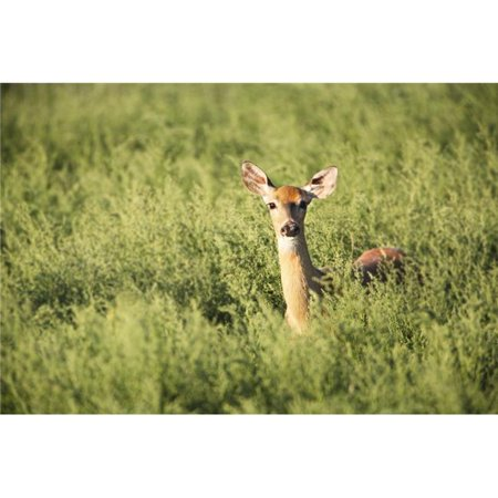 Posterazzi DPI1793427LARGE Deer in The Brush Poster Print by Richard Wear, 34 x 22 - Large - image 1 de 1