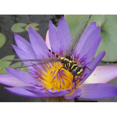 - LAMINATED POSTER Purple Dragonfly Close Up Water Lily Bug Insects Poster Print 24 x 36