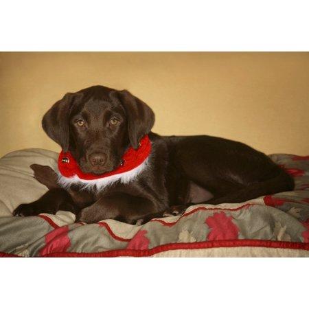Dog With Christmas Collar Canvas Art - Leah Hammond Design Pics (34 x 22)