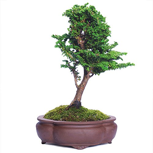 BRUSSEL'S BONSAI Dwarf Hinoki Cypress