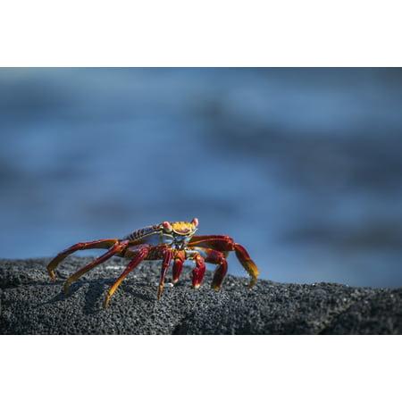 Sally Lightfoot crab (Grapsus grapsus) on grey volcanic rock Galapagos Islands Ecuador Stretched Canvas - Nick Dale  Design Pics (19 x 12)
