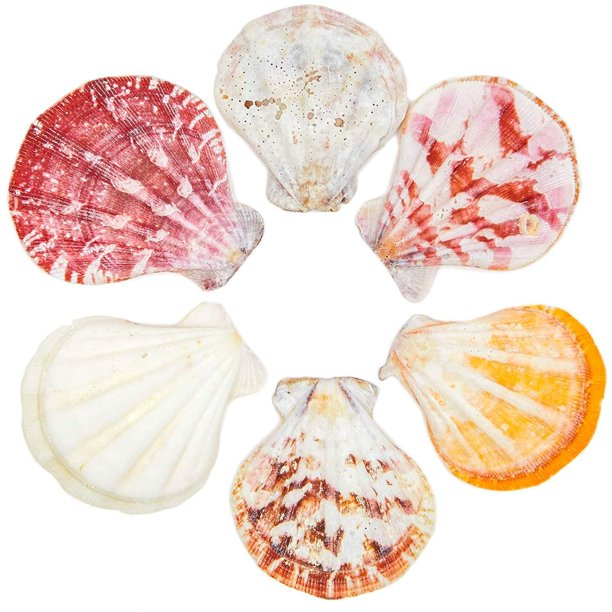 120 Packs Scallop Beach Seashells, Ocean Marine Natural Sea Shells for DIY Arts Crafts Crafting Wedding Baby and Bridal Shower Home Décor