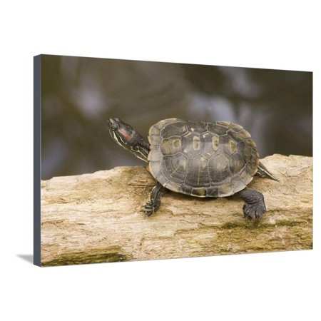 Red Eared Slider Turtle Stretched Canvas Print Wall Art By Hal Beral Red Eared Sliders Turtles