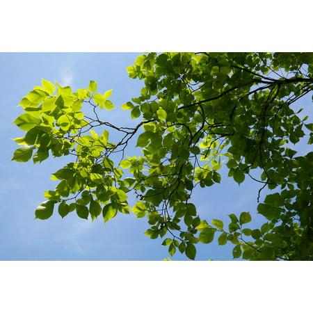LAMINATED POSTER Ulmus Glabra Green Leaves Mountain Elm Tree Poster Print 24 x 36