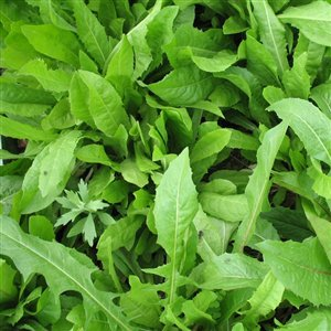 SeedRanch Six Point Chicory Seeds - 1 Lb.