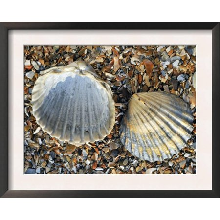 Poorly Ribbed Cockle Shells Separed to Show the Inside and ... Framed Art Print Wall Art