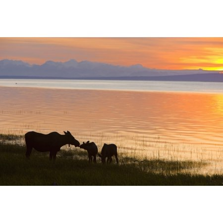 Cow And Two Calf Moose Feeding Along The Tony Knowles Coastal Trail At Sunset During Summer In Anchorage Southcentral Alaska Canvas Art - Kevin Smith  Design Pics (36 x 24)