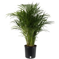 Costa Farms Live Indoor Areca Palm 3ft Tall, Grower Pot
