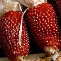 Organic Strawberry Popcorn Seeds - 1/2 OZ ~100 Seeds - Organic, Heirloom, Open Pollinated, Non-GMO, Farm & Vegetable Gardening Seeds - Pop Corn