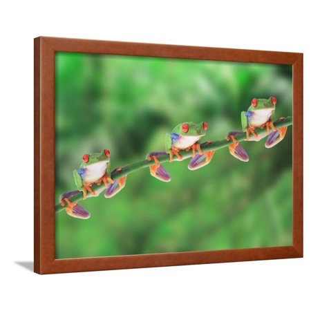 Red-Eyed Tree Frogs on Branch Framed Print Wall -