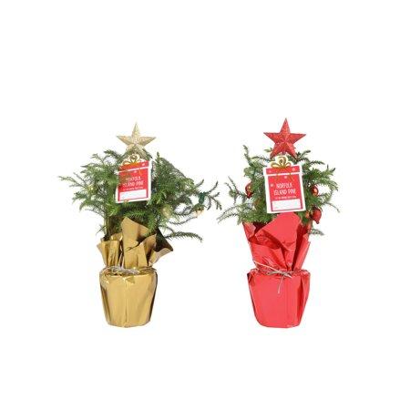 Delray Plants Holiday Norfolk Island Pine - Mini Christmas Tree - 4 pack