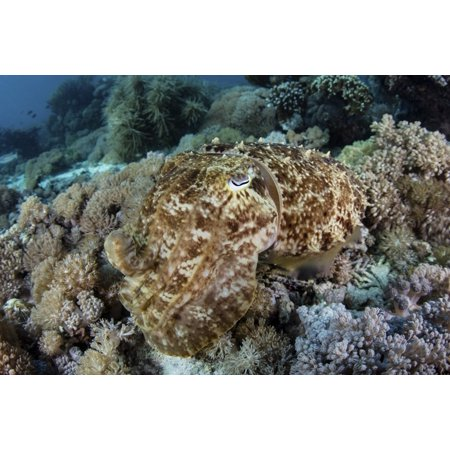 A broadclub cuttlefish hovers above a beautiful coral reef in Komodo National Park Poster Print by Ethan DanielsStocktrek Images