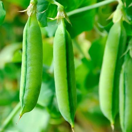- Super Sugar Snap Pea Garden Seeds - 5 Lbs - Non-GMO, Heirloom Vegetable Gardening Seed