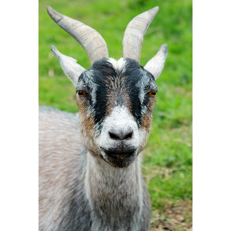 LAMINATED POSTER Horns Photography Close Up Animal Macro Goat Farm Poster Print 24 x 36