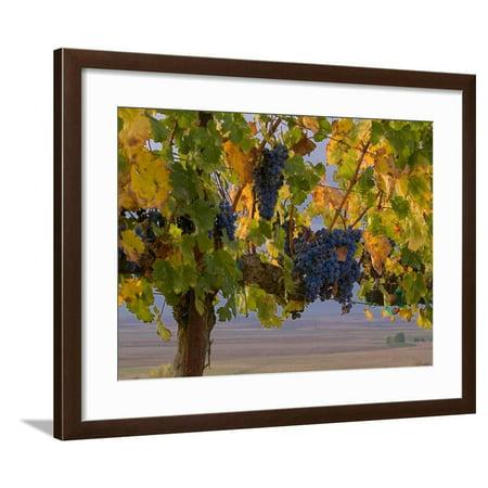 Red Wine Grapes Hanging, Yakima, Washington Framed Print Wall Art By Janis Miglavs