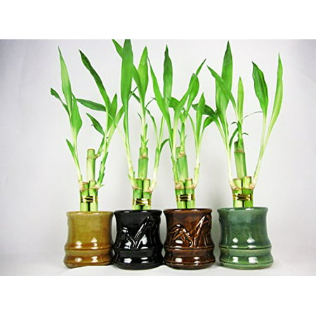 Live 3 Style Party Set of 4 Bamboo Plant Arrangement w/ Ceramic Vase Big Bamboo Plants