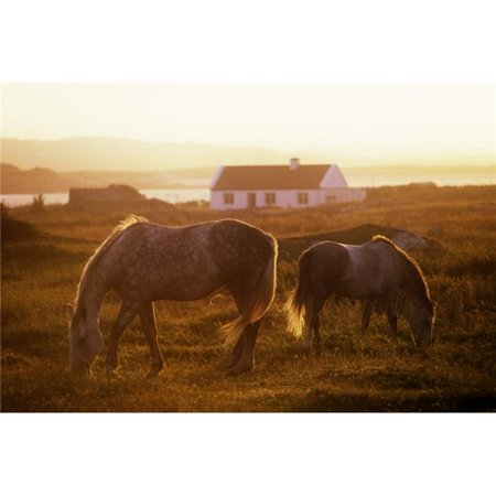 Ponies Grazing in a Field Connemara County Galway Republic of Ireland Poster Print by The Irish Image Collection, 36 x 24 - Large - image 1 of 1