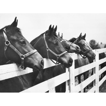 Horses Looking Over Fence at Alfred Vanderbilt's Farm Black and White Photography Print Wall Art By Jerry