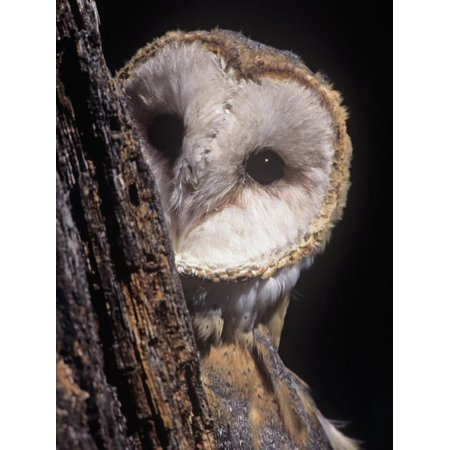 Barn Owl Face Peering from Behind a Tree Trunk, Tyto Alba, a Threatened Species, North America Print Wall Art By Joe McDonald
