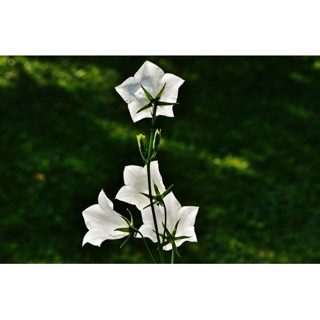 Laminated poster bloom flowers white blossom beautiful bells plant laminated poster bloom flowers white blossom beautiful bells plant poster 24x16 adhesive decal mightylinksfo