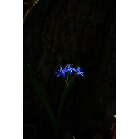 LAMINATED POSTER Blue Star Scilla Blossom Blue Spring Flower Bloom Poster Print 24 x (Blooming Star)