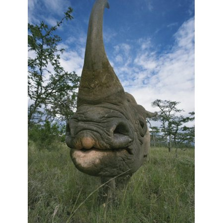 Wide Angle View of a Black Rhinoceros Horn and Face, Diceros Bicornis, Kenya, Africa Print Wall Art By Adam Jones (Africa Rhinoceros Horn)