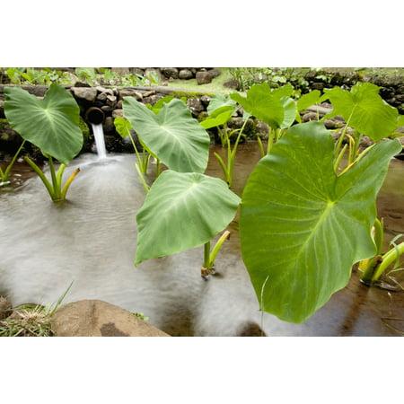 Hawaii Maui Large Taro leaves in a pond PosterPrint