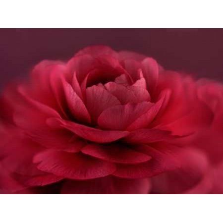 Ruby Red Rose Poster Print By Cora Niele
