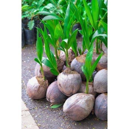 Coconut Tree (Green) Hawaiian, Live Coconut Palm, 12 inch (Excludes: