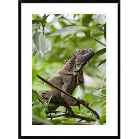 Global Gallery Green Iguana On Branches Framed Photographic Print
