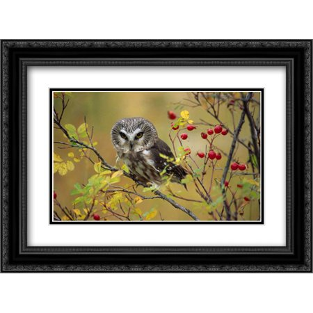 Northern Saw-whet Owl perching in a wild rose bush, British Columbia, Canada 2x Matted 24x18 Black Ornate Framed Art Print by Fitzharris, Tim
