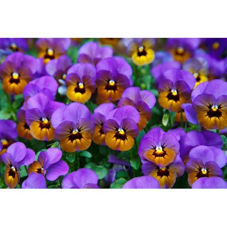 LAMINATED POSTER Bloom Pansy Detail Blossom Background Colorful Poster Print 24 x 36
